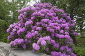 stock photo of cluster  - Beautiful big Rhododendron bush with big pink flower clusters next to wall in outdoor landscape - JPG