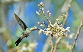 pic of hummingbirds  - Flying Cuban Bee Hummingbird  - JPG