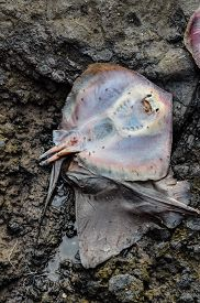 picture of stingray  - Dead Stingray Fish on the Coast near the Atlantic Ocean - JPG
