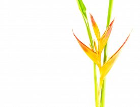 picture of heliconia  - Beautiful Heliconia flower blooming on isolate white background - JPG
