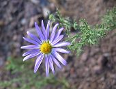 stock photo of xeriscape  - closeup of purple wild aster - JPG