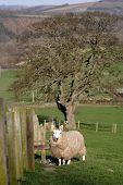 pic of suffolk sheep  - Lambing time  - JPG