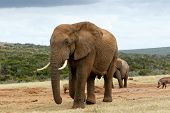 Постер, плакат: African Bush Elephant To Close