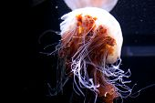 Jelly Fish Beautiful Jellyfish, Medusa In The Neon Light. Aquarium With Vivid Jellyfish. Underwater  poster