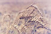 Wheat Background. Close Up Image Of Wheat Field. Wheat Field In Rainy Day. Wheat Field. Countryside  poster