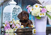 dachshund puppy brown tan color and flowers poster