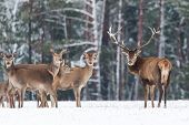 Winter Wildlife Landscape. Noble Deers Cervus Elaphus. Two Deers In Winter Forest. Deer With Large H poster
