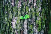 A Young Tree Growing On Middle The Tree Trunk And Bark Background .new Leaf On Tree . Sapling Sprout poster