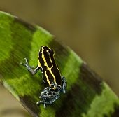 poisonous animal poison frog with bright yellow and black lines beautiful amphibian of amazon rain f