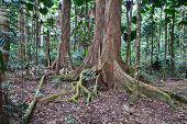 Постер, плакат: стволы величественных деревьев и корни в первичных тропических лесов Австралии Дейнтри природы заповедника потребности protec