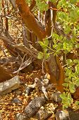 image of xeriscape  - Detail of trunk of Manzanita wood - JPG