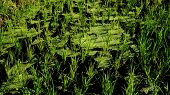 Rice Plants And Aquatic Plant , The Surface Of The Water Is Dirty Because Of Many Aquatic Plants poster
