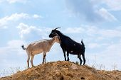 Two Black And White Goats In The Desert On The Hillock poster