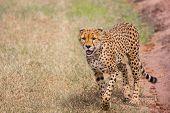 The cheetah walk freely on the car tracks of the savannah. Kenya, Masai Mara Park. Jeep - safari in  poster