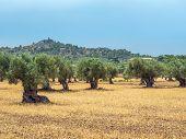 Olive Tree Grove. Mediterranean Oil Trees, Mallorca, Spain. poster