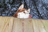 Siberian Husky Dog Looks Out From Behind Wooden Fence On The Night Street. Bottom View. poster