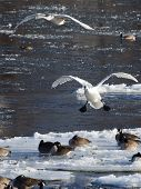 stock photo of trumpeter swan  - Pair of Trumpeter Swans about to land in a very icy river - JPG