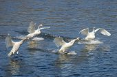 image of trumpeter swan  - Family of Trumpeter Swans landing in a river - JPG