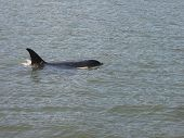 picture of orca  - An orca playing in the ocean beside a boat - JPG
