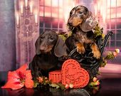 Dog dachshunds puppies and heart love symbol, valentines day poster