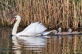 White Swan With Small Chicks In Danube Delta, Romania poster