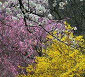 Cherry Blossom At Riverbank Park Of Shiroishi River poster