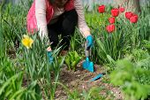 Springtime, Spring Seasonal Gardening. Woman Hands With Garden Tools Working With Soil And Cultivati poster