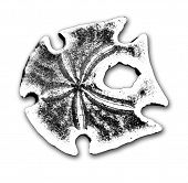 image of sanddollar  - Black - JPG