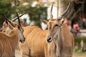 pic of eland  - Common Eland is a kind of sheep in Africa he was looking his partner and seemed so lovely and peace - JPG