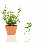 image of hyssop  - Hyssop herb growing in a terracotta pot with specimen leaf sprig isolated over white background with - JPG