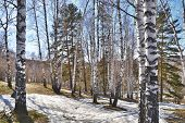 foto of birchwood  - Birchwood and thawed snow in the spring - JPG