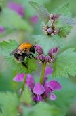 foto of bumble bee  - The bumble - JPG