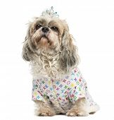 Dressed-up Shih Tzu wearing a diadem sitting, 4 years old, isolated on white
