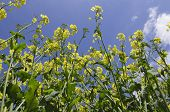 picture of rape-seed  - Landscape image of oil seed rape in flower - JPG