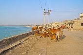 image of zebu  - Group of indian cows zebu at the embankment of Porbandar Gujarat - JPG