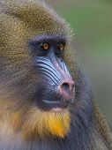 pic of belly-band  - Portrait of the adult mandrill in it - JPG
