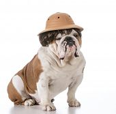 picture of safari hat  - english bulldog wearing safari hat and wig - JPG