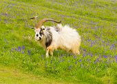 stock photo of billy goat  - British Primitive goat breed feral with large horns and beard white grey and black - JPG