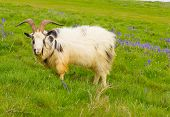 pic of billy goat  - British Primitive goat breed feral with large horns and beard white grey and black - JPG