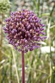 picture of monocots  - Allium sativum the scientific name of the flower of the garlic It is a perennial plant with leaves thin flat up to 30 cm in length - JPG