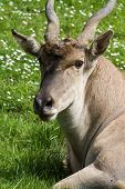 pic of eland  - closeup of a eland antelope with a very soft face and twisted horns resting on green grass - JPG
