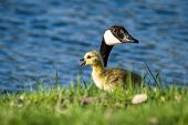 picture of baby goose  - baby gosling feeding on green spring grass with a parent watching over him  - JPG