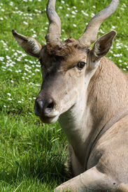 image of eland  - closeup of a eland antelope with a very soft face and twisted horns resting on green grass - JPG