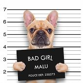 picture of felons  - criminal bulldog at the police station mugshot photo - JPG