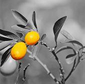 foto of kumquat  - closeup of a kumquat plant in a green and yellow field on a sunny day - JPG