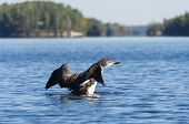 picture of loon  - Loon on a northern lake flapping it - JPG