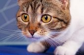 picture of yellow tabby  - Cute adult tabby with long moustaches looks forward close - JPG