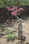 stock photo of desert-rose  - A Desert Rose plant at Lake Baringo in Kenya. ** Note: Shallow depth of field - JPG