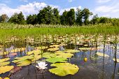 pic of day-lilies  - Summer landscape with water lilies on a sunny day - JPG