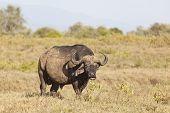 picture of cape buffalo  - A mean looking Cape Buffalo in Nakuru National Park in Kenya - JPG